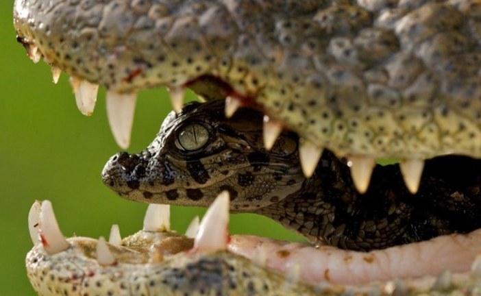 انثى التمساح و صغيرها , عظمة الله.. السيد حسين بدرالدين الحوثي